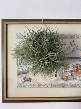 Tillandsia houston enana bola
