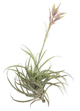 Tillandsia cacticola híbrida S