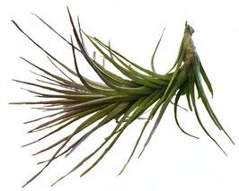 Tillandsia caulescens