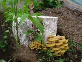 Limonenseitling (Pleurotus cor. var. citrinopileatus)