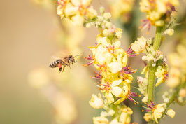 Makro - Biene im Flug