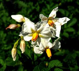 bloemen aardappel / Kartoffelblüte