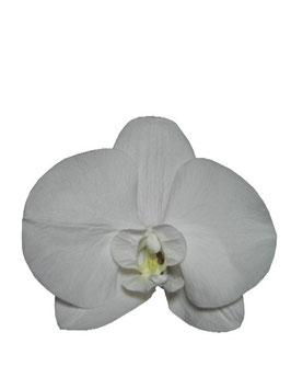 コチョウラン ホワイト Sサイズ 1輪