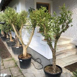 Granatapfelbaum Punica granatum ca. 180+cm