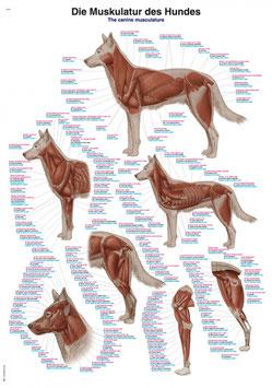 """Lehrtafel """"Die Muskulatur des Hundes"""", 70x100cm"""