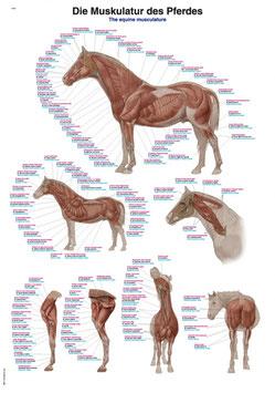 """Lehrtafel """"Die Muskulatur des Pferdes"""", 70x100cm"""
