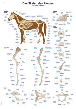 """Lehrtafel """"Das Skelett des Pferdes"""", 70x100cm"""