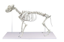 Hundeskelett, natürliche Größe