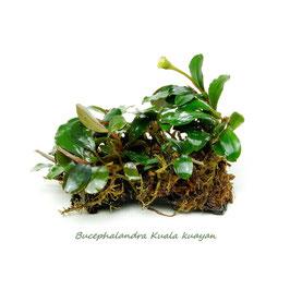 Bucephalandra sp. Kuala kuayan