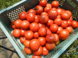 ゲミューゼの濃厚トマト ※まだ未収穫ですのでもうしばらくお待ちください。