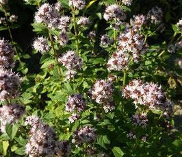 Oregano - Origanum vulgare (Pflanze)