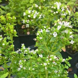 Grüner- Griechischer Oregano - Origanum vulg.ssp.viride (Pflanze)