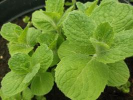 Apfel Minze - Mentha suaveolens (Pflanze)