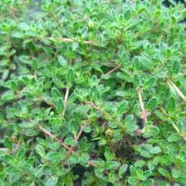 Perücken Thymian - Thymus ciliatus var. pubescens (Pflanze)