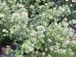 Scharfer Oregano - Origanum samothrake (Pflanze)