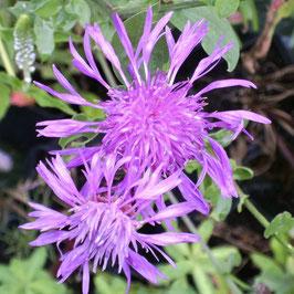 Bergflockenblume - Centaurea montana (Pflanze)