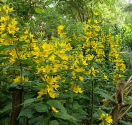Felberich, Gilbweiderich - Lysimachia punctata (Pflanze)