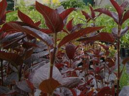 Bronze Felberich - Lysimachia ciliata `Firecracker´ (Pflanze)