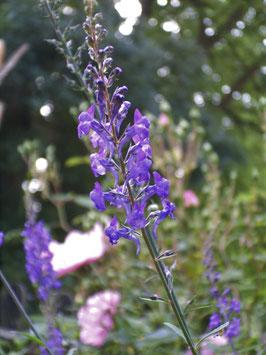 Purpur Leinkraut - Linaria purpurea (Pflanze)
