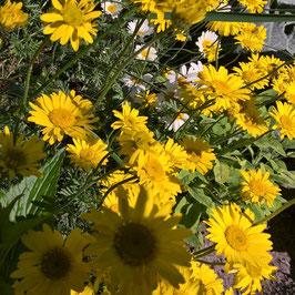 Färberkamille - Anthemis tinctoria (Pflanze)