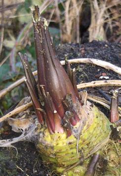 Meerrettich - Amoracia rusticana (Pflanze)