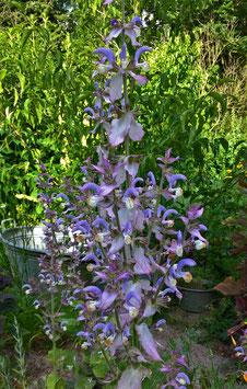 Muskateller Salbei - Salvia sclarea (Pflanze)