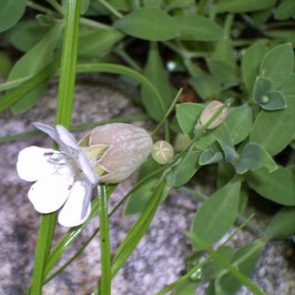 Leimkraut, Strigoli - Silene vulgaris (Pflanze)