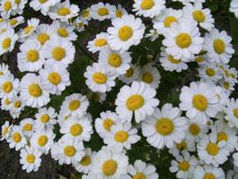 Mutterkraut - Tanacetum parthenium (Pflanze)