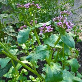 Algier Salat - Fedia cornucopiae (Pflanze)