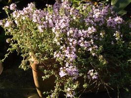 Kümmelthymian - Thymus herba barona (Pflanze)