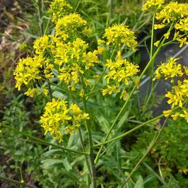 Färberwaid - Isatis tinctoria (Pflanze)