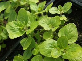 Gold Oregano - Origanum vulgare (Pflanze)