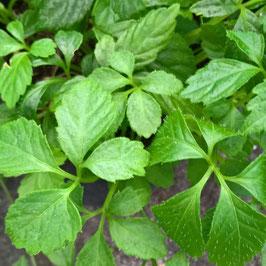 Jiaogulan - Gynostemma pentaphyllum (Pflanze)