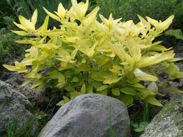 Gold Stauden Majoran - Origanum vulgare (Pflanze)