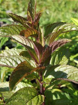Schoko Minze - Mentha x pip. (Pflanze)