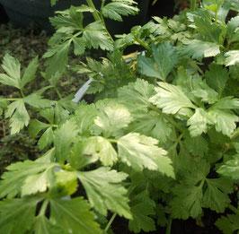 Schnittsellerie - Apium graveolens (Saatgut)