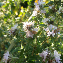 Amerikanische Bergminze - Pycnanthemum pilosum (Pflanze)