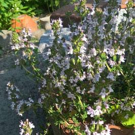Deutscher Thymian - Thymus vulg. (Pflanze)