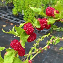 Erdbeer Spinat - Blitum foliosum (Saatgut)