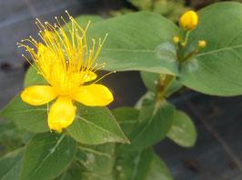 Zitronenduftendes Johanniskraut - Hypericum hircinum (Pflanze)