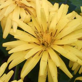 Schwarzwurzel - Scorzonera hispanica (Pflanze)