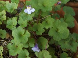 Mauerblümchen, Zimbelkraut - Cymbalaria muralis (Pflanze)