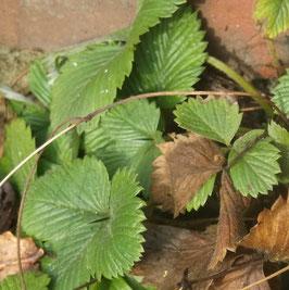 Walderdbeere - Fragaria vesca (Pflanze)