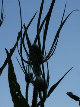 Wilde Karde - Dipsacus sylvestris (Pflanze)