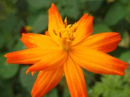 Schwefel Cosmea - Cosmos sulphureus (Pflanze)