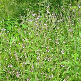 Eisenkraut - Verbena officinalis (Pflanze)