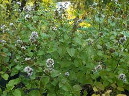 Kölnisch Wasser Minze - Mentha aquatica (Pflanze)