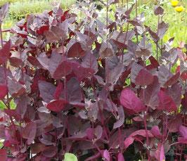 Purpur Melde - Atriplex hortensis (Pflanze)