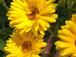 Ringelblume - Calendula officinalis (Pflanze)