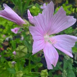 Rosenmalve/Sigmarskraut - Malva alcea (Pflanze)